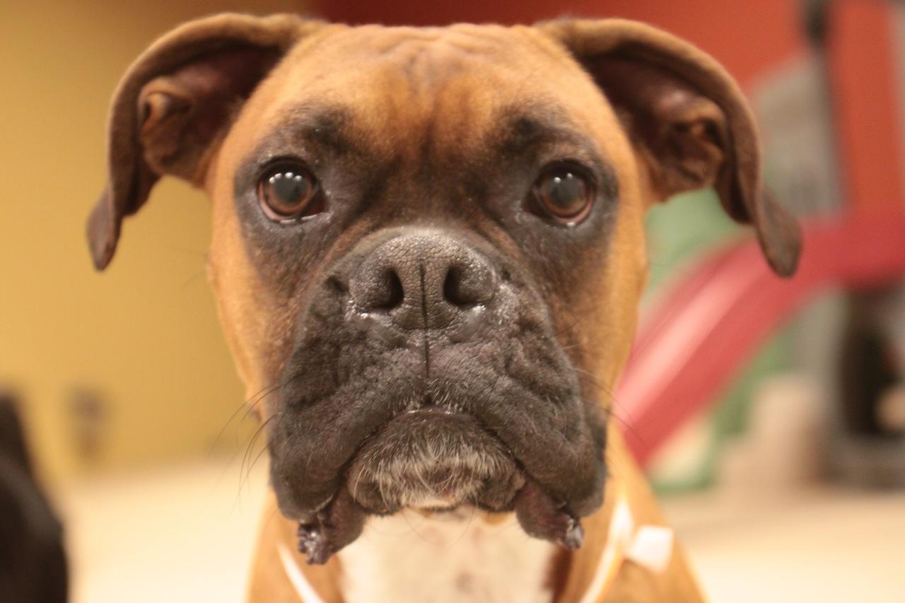 Boxer Dog Face