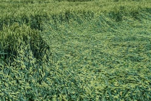 Wheat Lodging