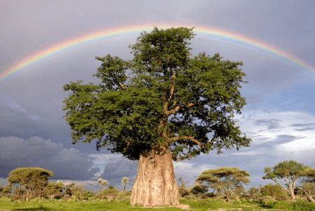 tree rainbow Africa