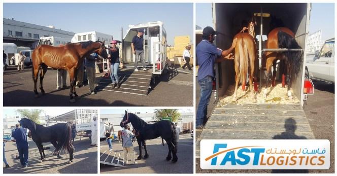 Fast Logistics Kuwait Loaded 12 Horses For Liege Belgium