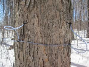 tapped maple tree