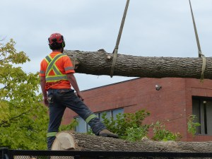 This ash tree was not stable enough to allow arborists to climb it. A crane was required for the tree removal job.