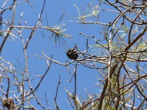 Scot pine suffering from Diplodia Tip Blight