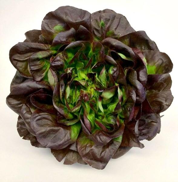 Beautiful Head of Farmers Market Lettuce
