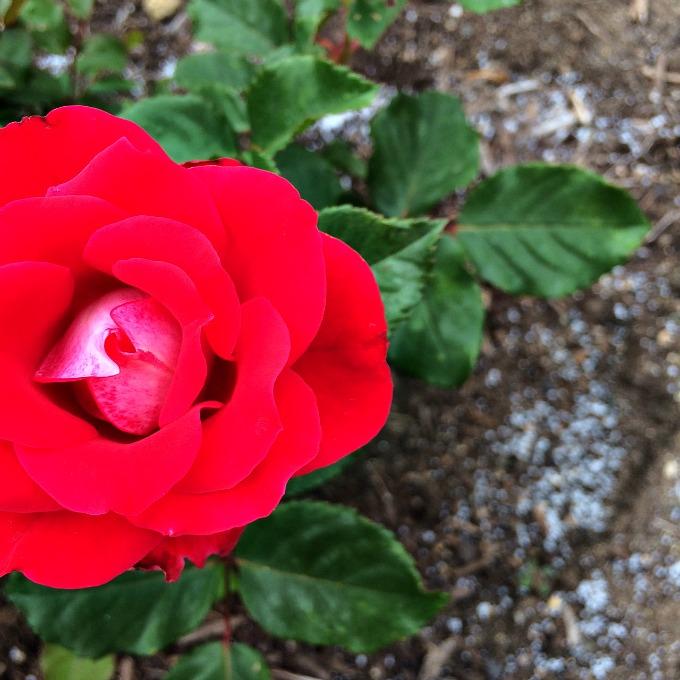 Rose Garden San Diego
