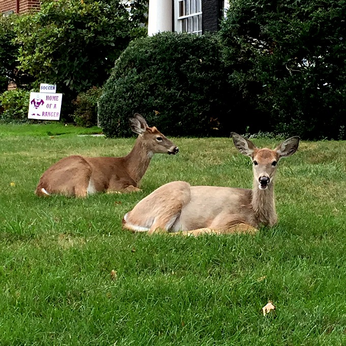 Neighborhood Deer