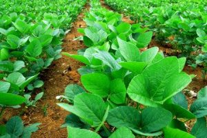 How High Are Soybean Prices Going ?