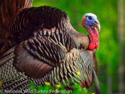 Thankful! Five ways the National Wild Turkey Federation is preserving tradition