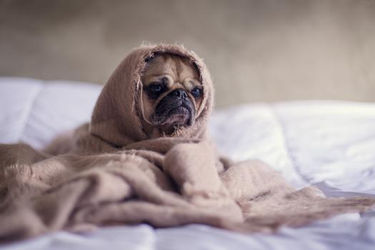 """Dog Wrapped in a blanket with """"keto flu"""" or """"electrolyte imbalance"""""""