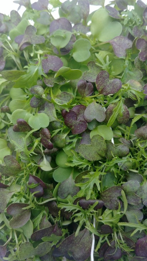 Clean Genes Farm Bold micro green mix