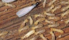 شركة مكافحة النمل الابيض بالخفجي