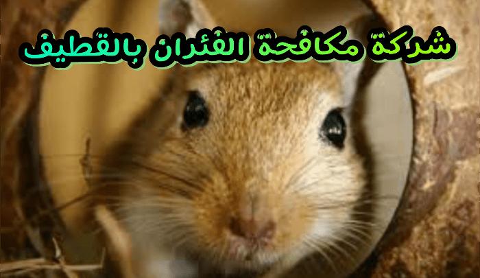شركات مكافحة الفئران بالقطيف