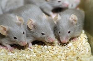 شركة مكافحة الفئران بالدمام....