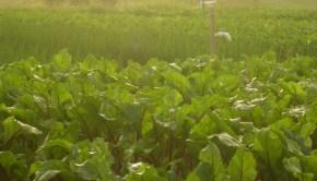 desoto lakes organic fields Cynthia Shahan