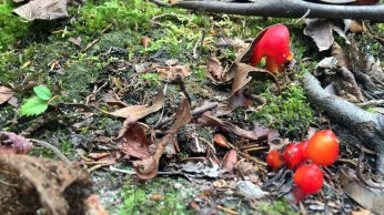 redMushrooms