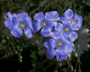 Beautiful Flax Flowers