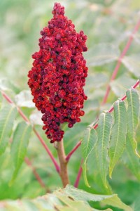 I remember learning Sumac was edible during an outdoor field trip in elementary school. More than a decade later, I finally tasted this delicious and versatile spice at a Persian restaurant in Toronto where it was served in a shaker for the table to season plain rice. Yum!