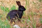 Not so wild rabbits