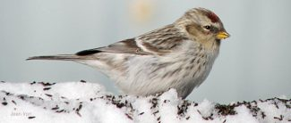 hoary redpoll by jane iron