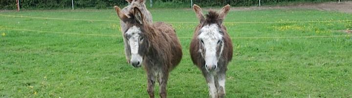 Deux petits ânes dans un pré