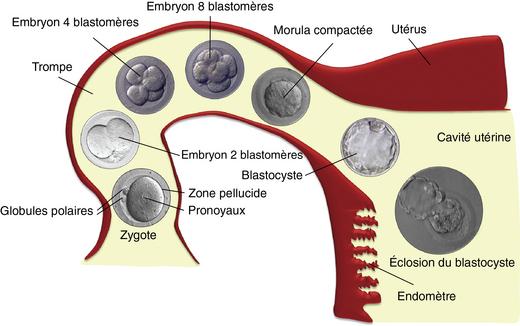 30: Développement embryonnaire humain | Medicine Key