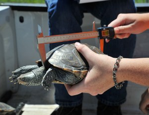 Francoeur measures the size of the terrapin.