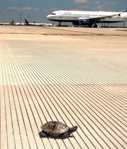 Terrapin crossing the runway.