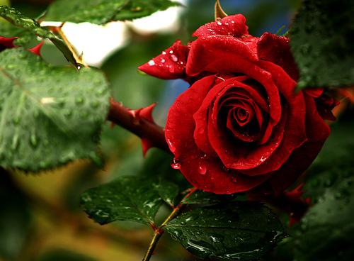 Resultado de imagem para rosas com espinhos maravilhosas