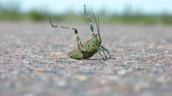 Hermoso saltamontes verde en posición de defensa