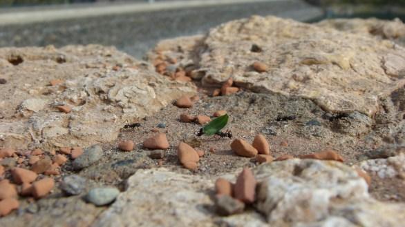 Hormigón, y no me refiero al cemento, sino a la hormiga gigante, transportando una hoja, sobre una muralla en el mirador de Los Reyunos