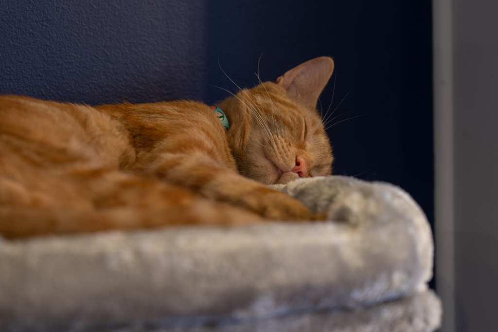 Sleeping cat at AffoGATO cat cafe