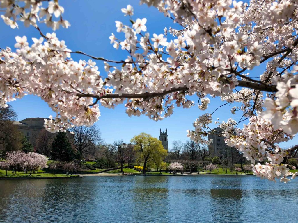 Cherry Blossoms at Wade Lagoon in Cleveland