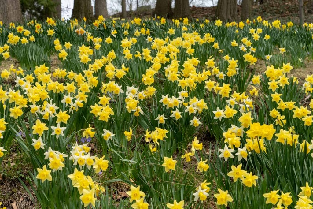 Daffodil Hill at Lake View Cemetery