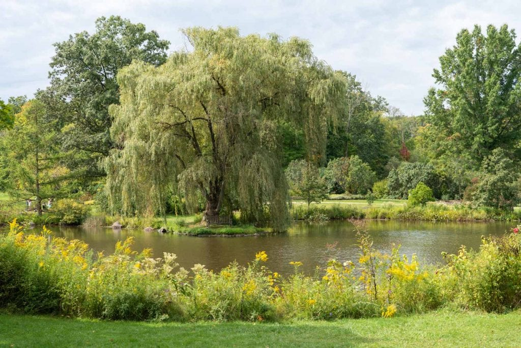 Weeping willow at Holden Arboretum