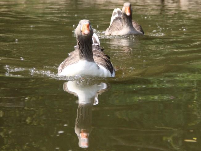 Paddeln auf der Lahn: Enten überall