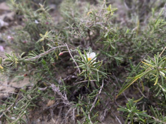 Rosmarinblüte