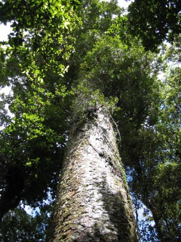 Agathis_australis_Waipua-e1374631950133