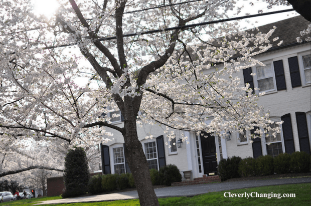 Visit Kenwood Cherry Blossoms b