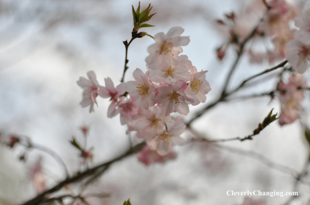 Visit Kenwood Cherry Blossoms c