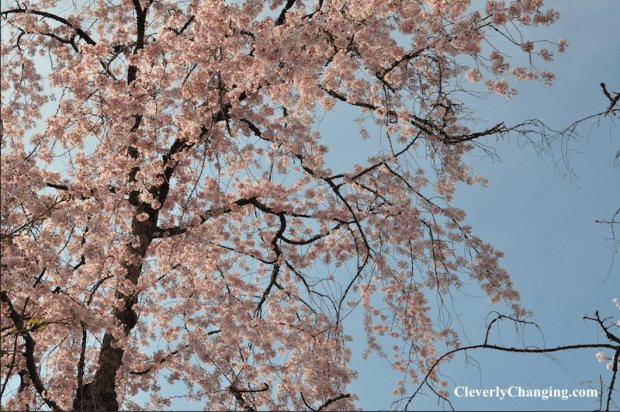 Kenwood Cherry Blossoms d