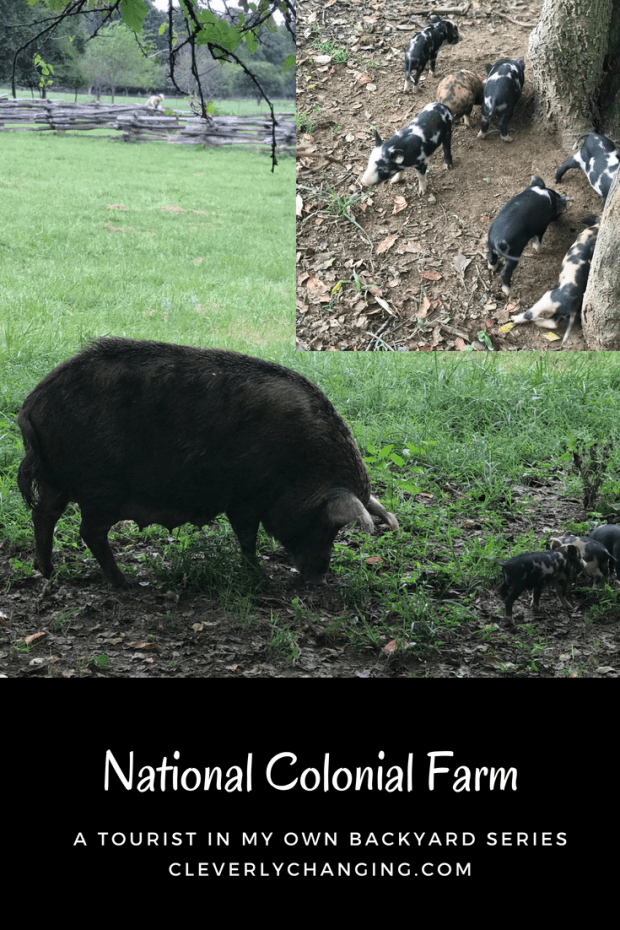 Hogs that are about the fo the Colonial breeding program