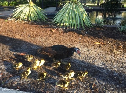 Muscovy Duck and her ducklings