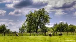 Moutons dans le champ-Clicandzoomphoto
