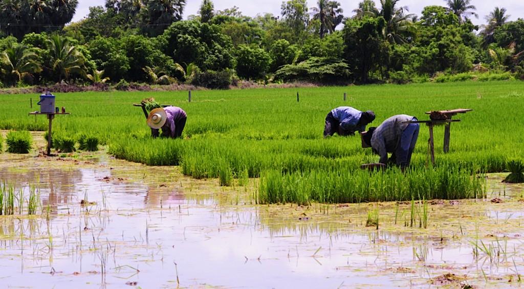 El arroz: la herencia ancestral de Tailandia