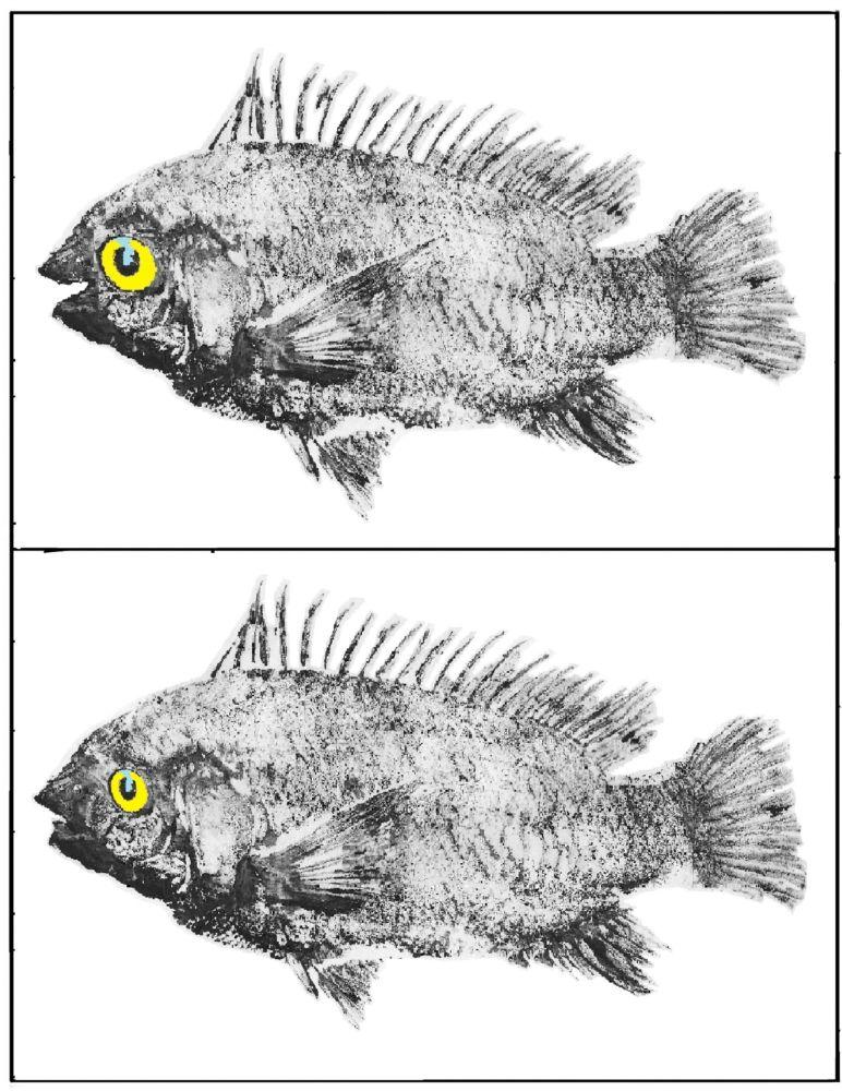 MT#965 Detect the Ten Differences Puzzle #26: Tilapia (Art by Gen West)