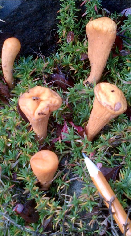 MT#1004 Flat-Topped Club Coral Mushroom