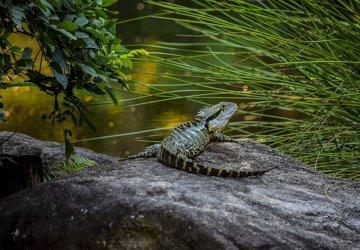 Brisbane Botanic Gardens Iguana nel giardino giapponese