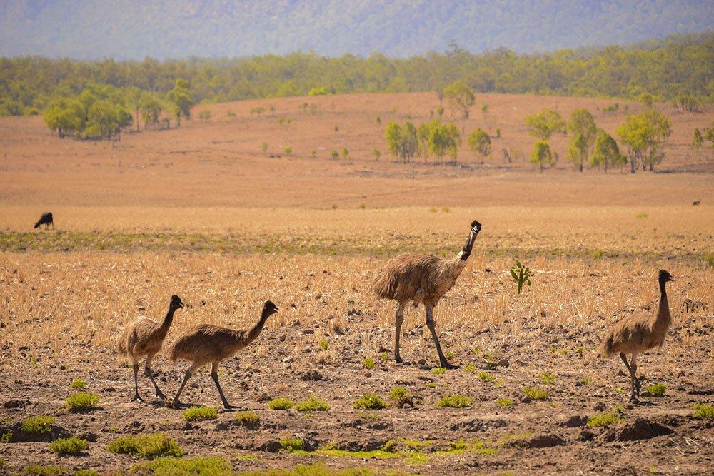 Australia Emu