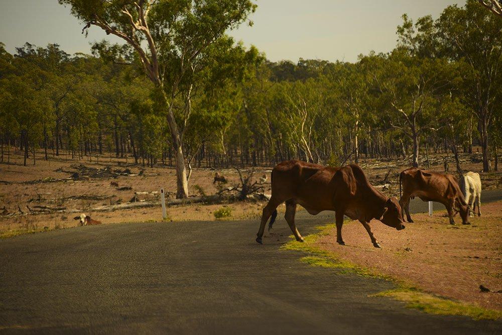 Spesso dobbiamo rallentare a causa delle mucche!