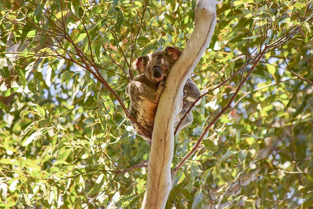 Australia la casa dei Koala